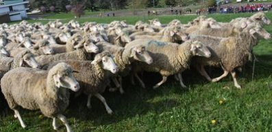 MOUTONS_400